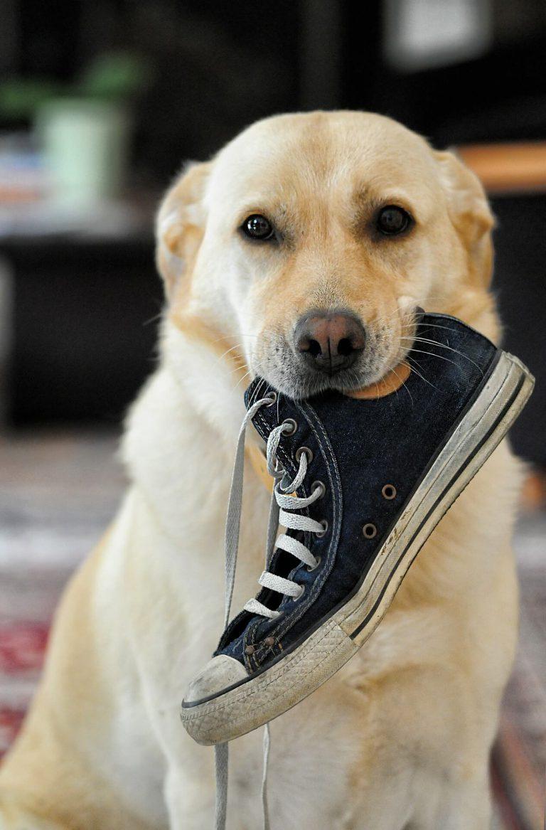 hond bijt heel veel puberteit hond hond bijt schoenen hond luistert niet volgt commando's niet op. Hond in puberteit Gehoorzaamheidstraining hond Almelo wierden enter bornerbroek borne zenderen alberen privétraining hond enter geesteren training aan huis